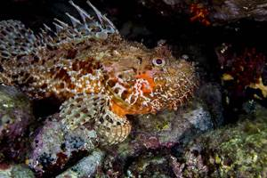 Red scorpionfish - Scorpaena scrofa