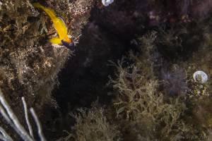 Gelber Spitzkopfschleimfisch - Tripterygion delaisi