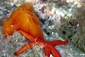 Red starfish - Echinaster sepositus