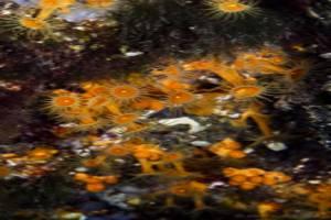 Gelbe krustenenemone - Parazoanthus axinellae