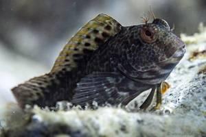 Vandervekeni Schleimfisch - parablennius pilicornis