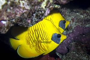 Golden butterflyfish - Chaetodon semilarvatus