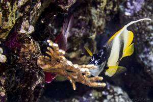 Red Sea bannerfish - Heniochus intermedius