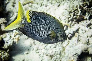 Brownspotted spinefoot - Siganus stellatus