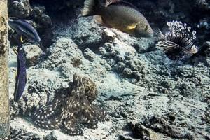 - Octopus cyanea