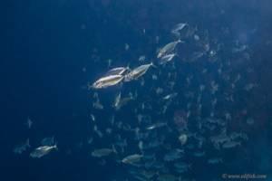 Großmaul Makrele - Rastrelliger kanagurta