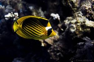 Red Sea racoon butterflyfish - Chaetodon fasciatus