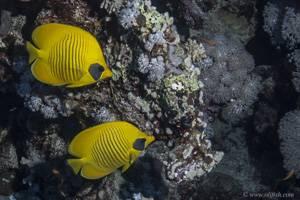 Gelber Rotmeer Falterfisch - Chaetodon semilarvatus