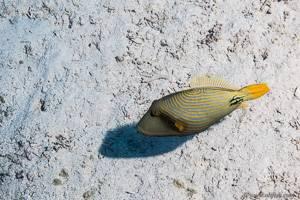 Gelbschwanz Drückerfisch - Balistapus undulatus