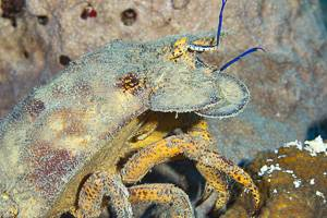 Spanish Slipper Lobster - Scyllarides aequinoctialis