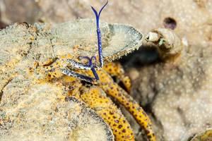 Grande cigale caraïbe - Scyllarides aequinoctialis