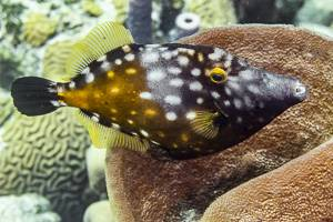 Poisson lime a taches blanches - Cantherhines macrocerus