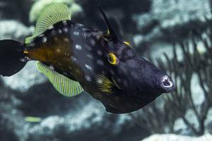 American whitespotted filefish - Cantherhines macrocerus