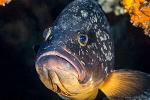 Dusky grouper - Epinephelus marginatus