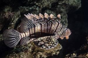 Rotfeuerfisch - Pterois volitans