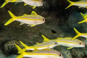 Yellow Goatfish - Mulloidichthys martinicus