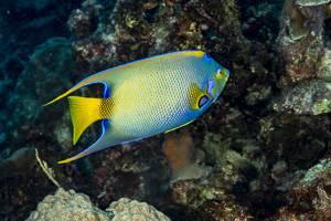 Queen angelfish - Holacanthus ciliaris