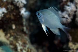 Whitebelly damselfish - Amblyglyphidodon leucogaster