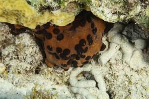 Holothurie à points - Isostichopus badionotus