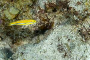 Yellowhead wrasse - Halichoeres garnoti