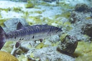 Barracuda - Sphyraena barracuda