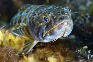 Atlantic Lizardfish - Synodus saurus