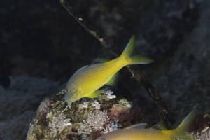 Gelbsattel-Meerbarbe - Parupeneus cyclostomus