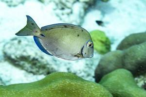 Grey Doctorfish - Acanthurus bahianus