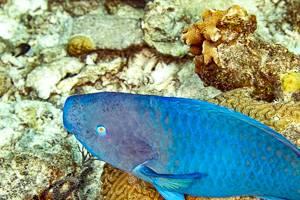 Perroquet bleu - Chlorurus microrhinos.eng