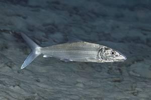 Bonefish - Albula vulpes