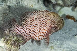 Coney Barbados - Cephalopholis cruentata