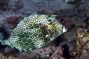 Honeycomb cowfish - Acanthostracion polygonius