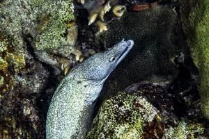 Murene tachetée - Gymnothorax moringa