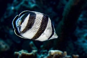 Banded butterflyfish - Chaetodon striatus