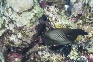 Besen Feilenfisch - Amanses scopas