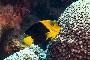 Angelfish - Holacanthus tricolore