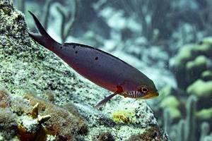 Creole-fish - Paranthias furcifer