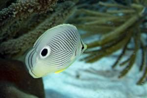 Papillon a quatre yeux - Chaetodon