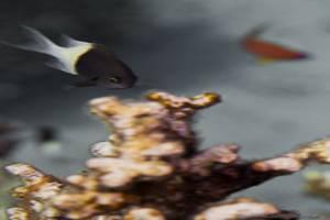 Zweifarb Schwalbenschwanz - Chromis dimidiata