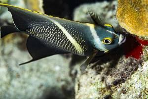 Poisson ange francais - Pomacanthus paru