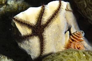Ophiure epineuse - Ophiocoma paucigranulata