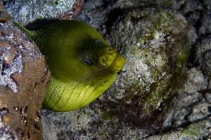 Murène verte - Gymnothorax funebris