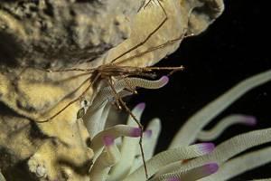 Araignée nez pointu - Stenorhynchus seticornis