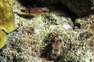 Belted cardinalfish - Apogon townsendi