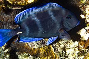 Chirurgien bleu - Acanthurus coeruleus