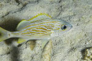 Gorette jaune - Haemulon flavolineatum