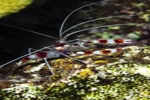 Crevette nettoyeuse - Stenopus hispidus