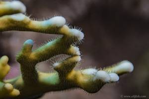 Gitter Feuerkoralle - Millepora dichotoma