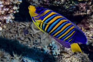 Bluebanded Angelfish - Pygoplites diacanthus