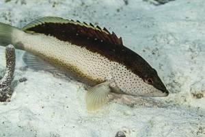 Black Guativere - Cephalopholis fulva